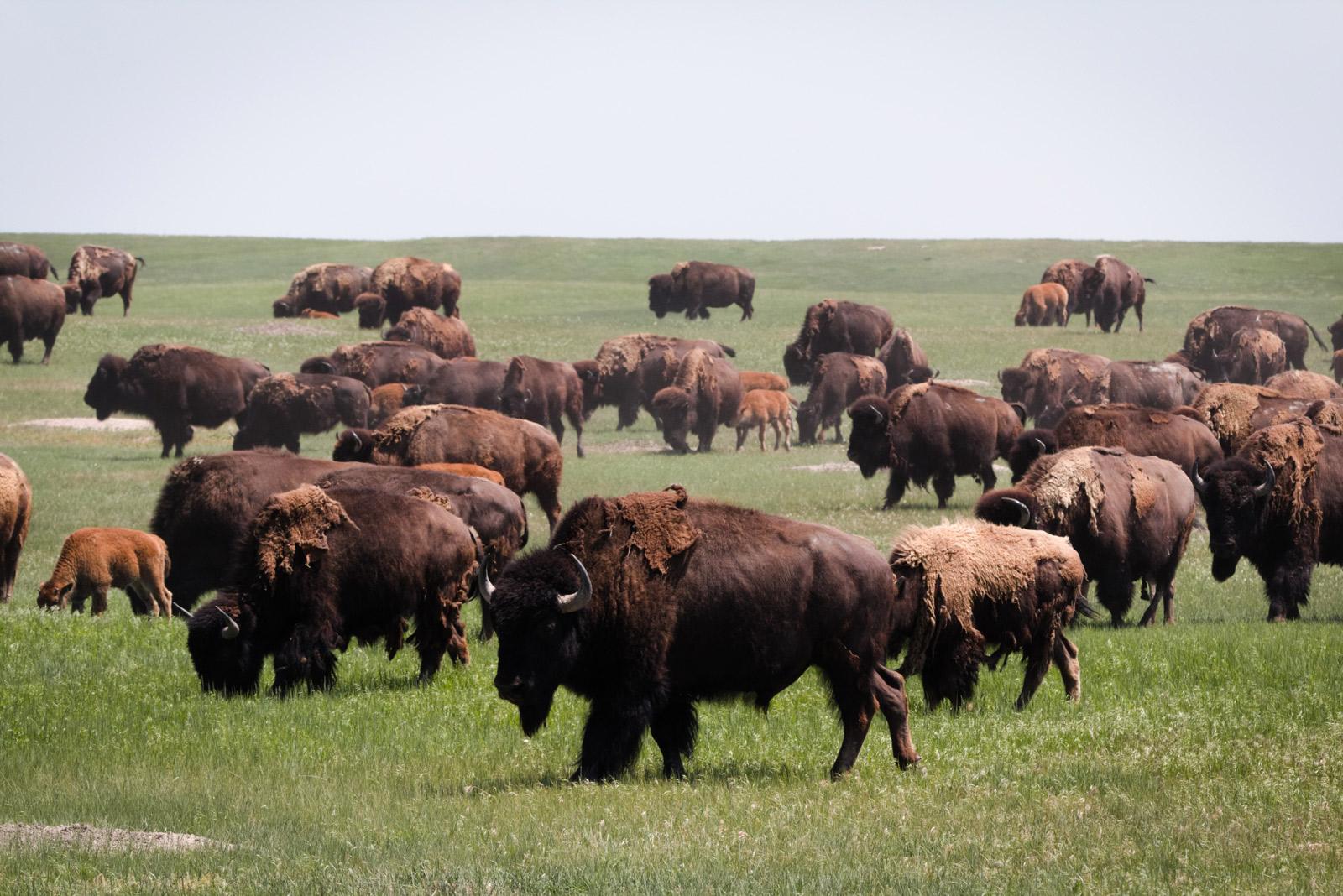 Eine Herde von Bisons auf einer grünen Wiese
