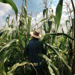 Mexiko ist bis 2024 frei von Genmais und Glyphosat