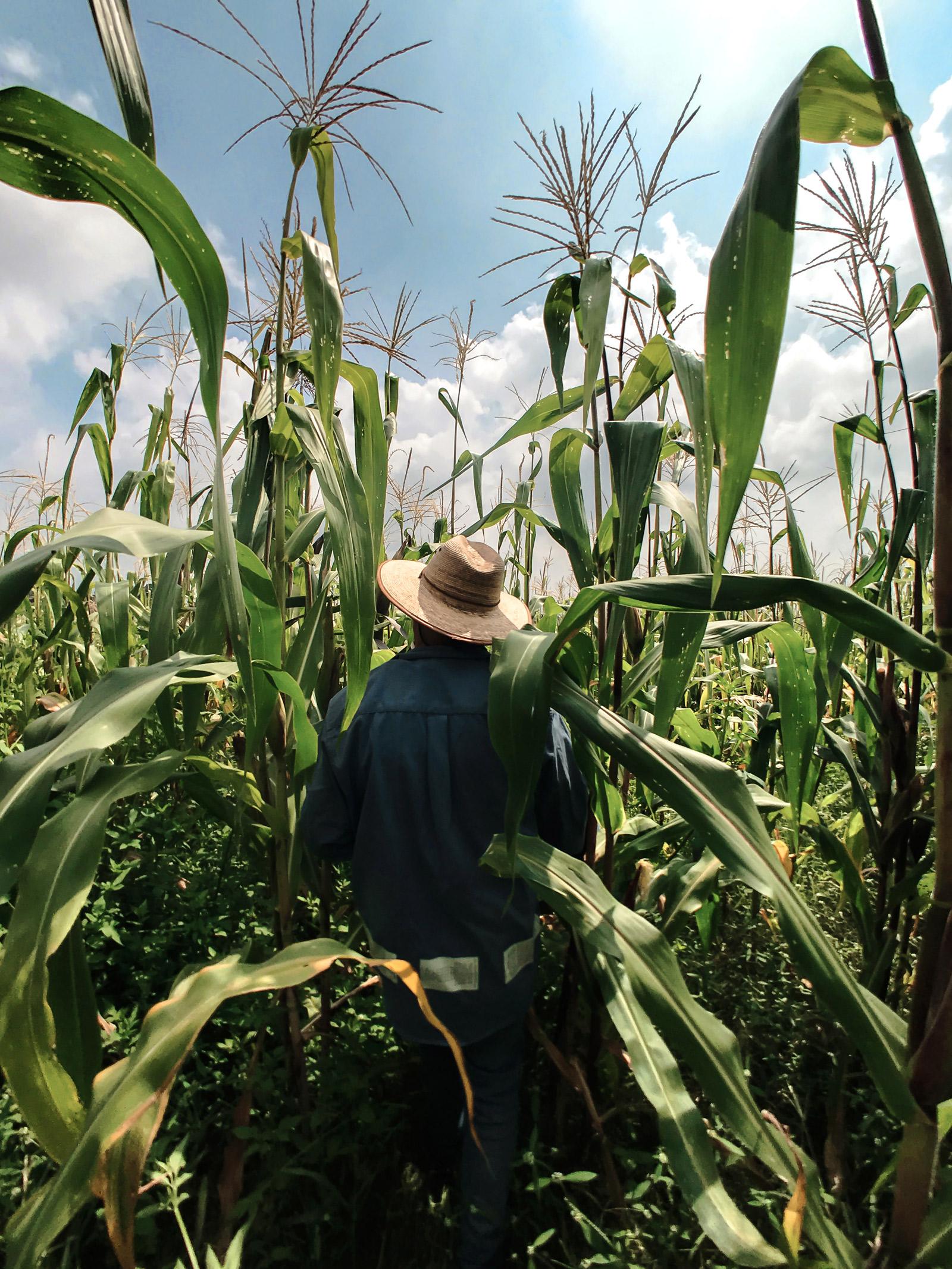 Mexikaner mit Strohhut, von hinten fotografiert, steht mitten in einem dichtbewachsenen Maisfeld